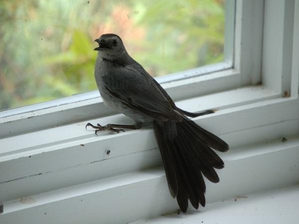 Chim bay vào nhà - Những điềm báo liên quan đến chim bay vào nhà