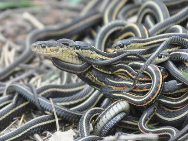 Mơ thấy rắn - Ý nghĩa và con số lô đề của giấc mơ thấy rắn