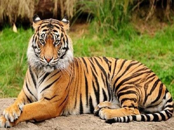 Mơ thấy hổ - Điềm báo và con số lô đề của giấc mơ thấy hổ