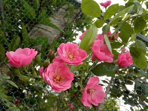 Mơ thấy hoa hồng đánh con số gì?