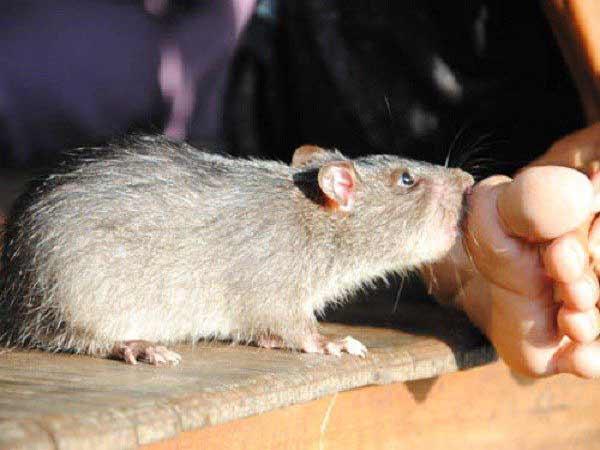 Cách hóa giải khi bị chuột cắn