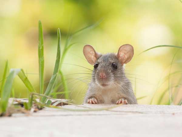 Chuột vào nhà là điềm báo lành hay dữ