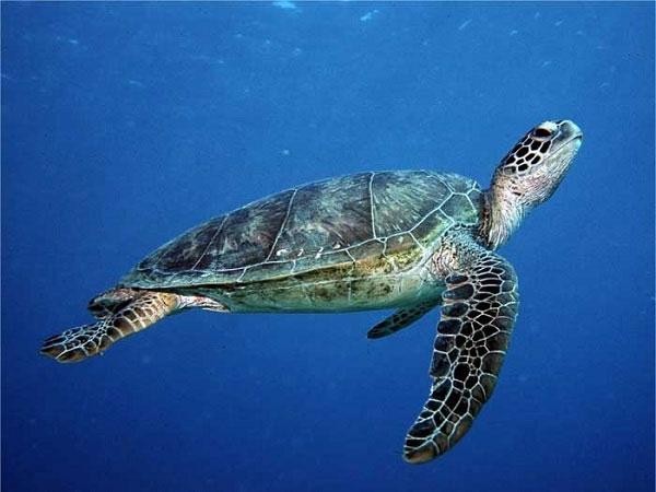 Nằm mơ thấy rùa biển có ý nghĩa gì điềm báo tốt hay xấu